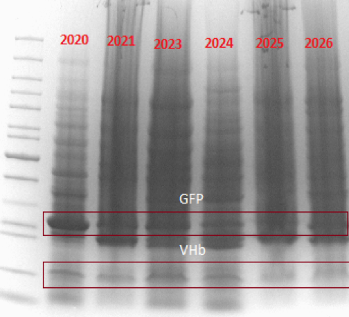 T--Lund--SDS_PAGE_VHb-GFP.png