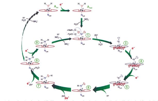 Mechanism_of_the_Six-Electron_Reduction_of_Nitrite_to_ammonium.JPG