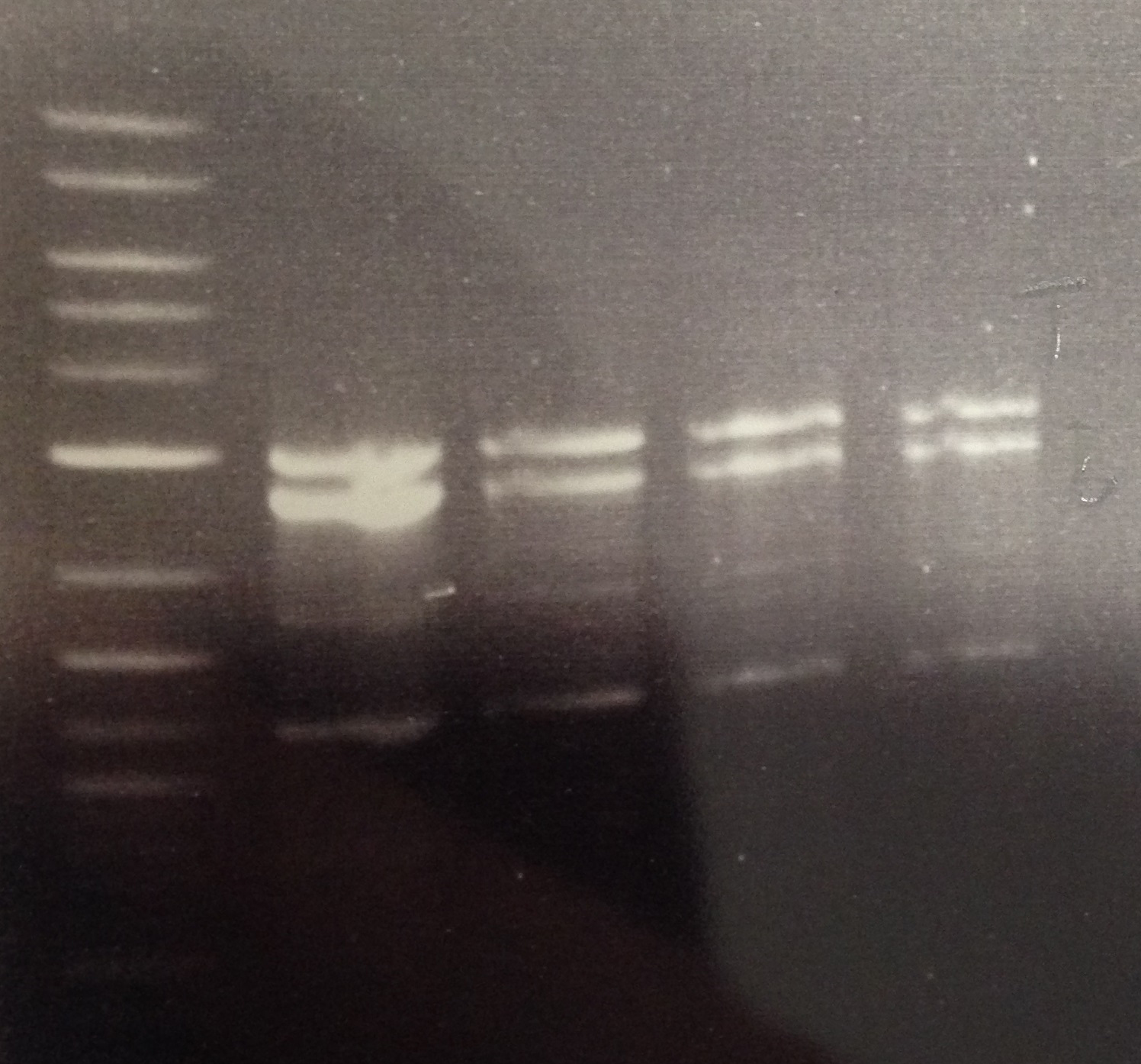 An example of a gel showing high molecular weight (>10 kb) bands corresponding to successfully extracted plant Genomic DNA (in this case, samples LNS1 and LNS2 from Arabidopsis DNA)