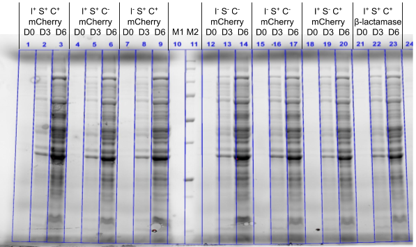 SDS-PAGE_of_cellular_insoluble_protein_UCPH.png
