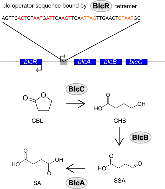 catabolism of GBL in A. tumefaciens