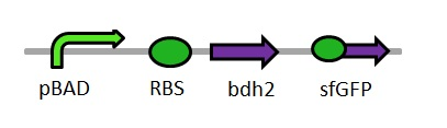 Bdh2_brick_diagram.jpg