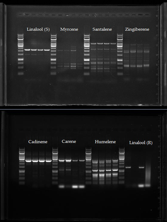 VU_genomic_DNA_PCR.jpg