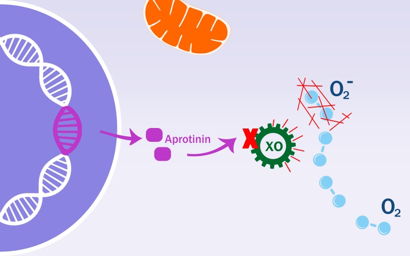 Aprotinin stopping oxidation from XDH to XO