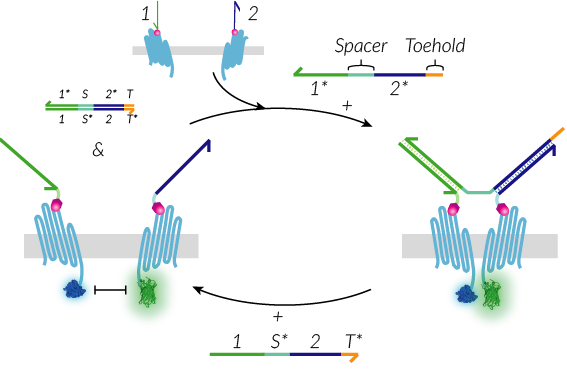 TU Eindhoven DNA strand displacement System.png