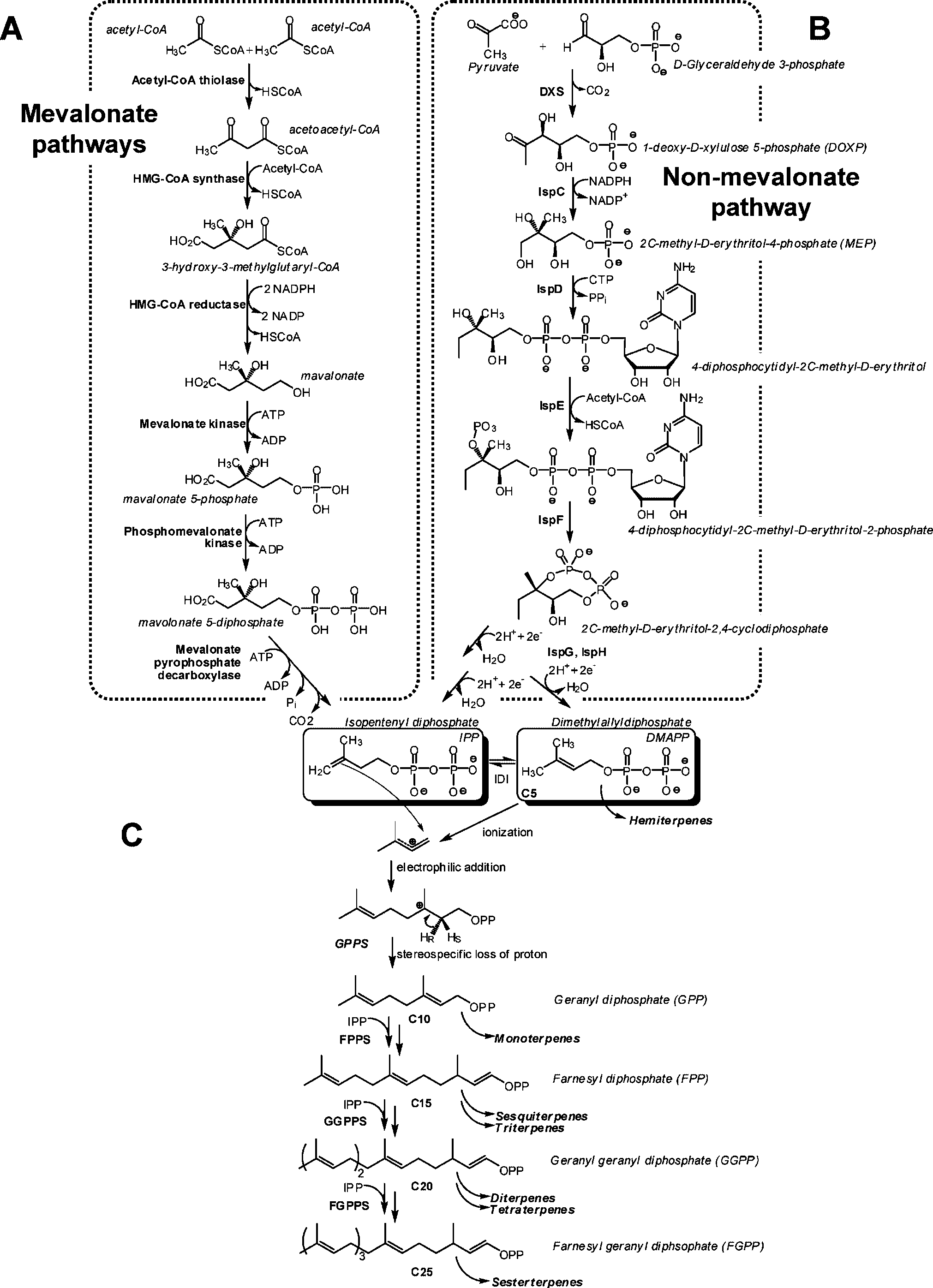 terepnoid biosynthesis pathways
