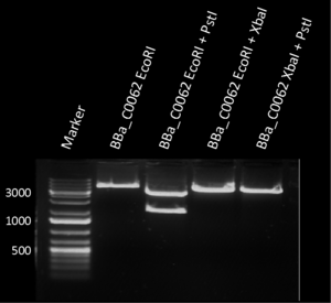 Figure 1: restriction assay of BBa_C0062 with the indicated restriction enzymes