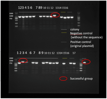 T--NEFU China--homologous recombination PCR.jpg