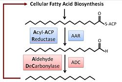 Fatty Acid Biosynthesis.jpg