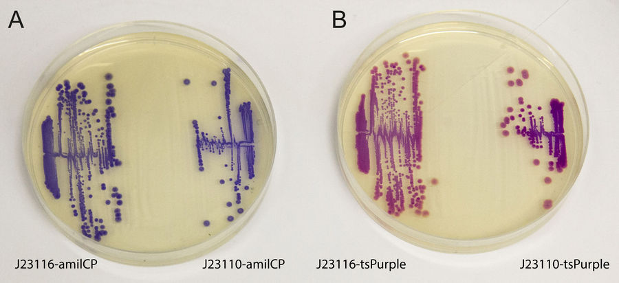AmilCP and tsPurple.jpg