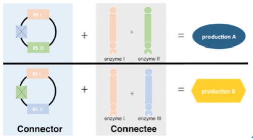 Figure 4   Connector is originally designed with three recognition sequence(RS). Then we transformed it into two different Connector, one with RS Ⅰ and RS Ⅱ while the other one with RS Ⅰ and RS Ⅲ. Connector with RSⅠand RSⅡ can bind with Connectee-enzyme Ⅰ and Connectee-enzyme Ⅱ and get  production A in the end, while Connector with RS Ⅰ and RS Ⅲ can bind with Connectee-enzyme Ⅰ and Connectee-enzyme Ⅲ and get production B.